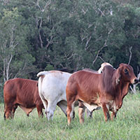 Big Country Brahman Sale - Charters Towers